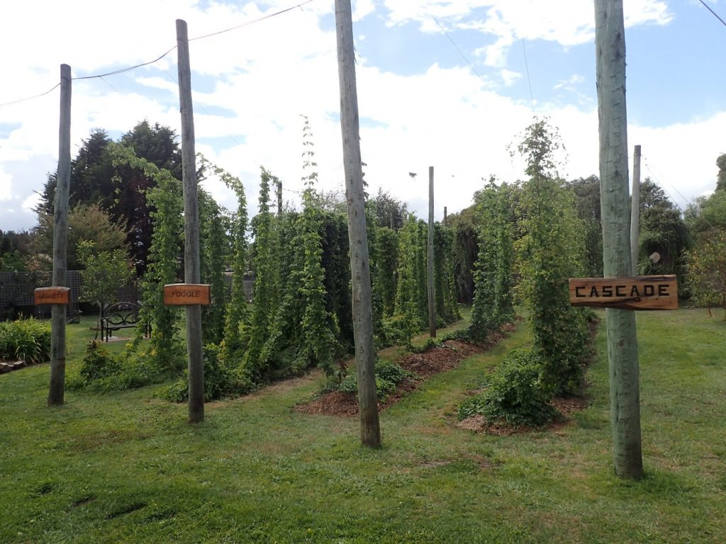 Hop vines growing at Seven Sheds Brewery.